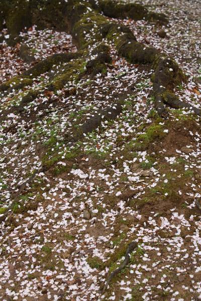 奈良の桜3
