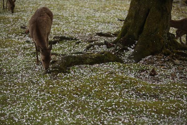 奈良の桜4