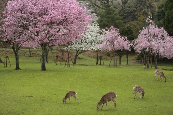 奈良の桜1