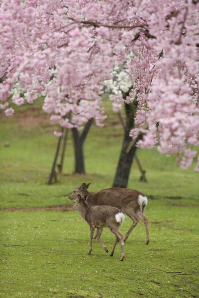 奈良の桜5