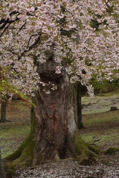 奈良の桜11