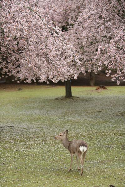 奈良の桜16