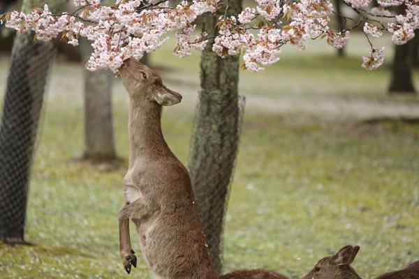 奈良の桜18