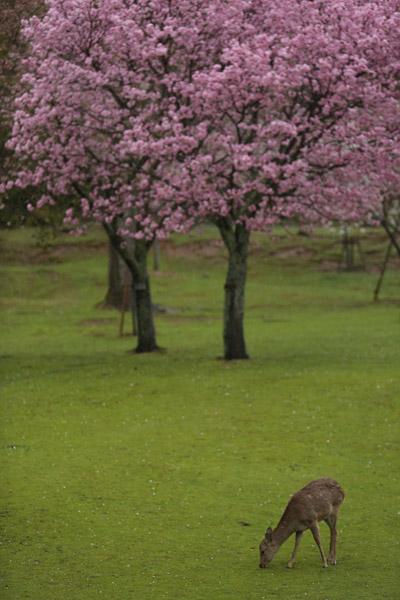 奈良の桜6