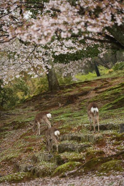 奈良の桜9
