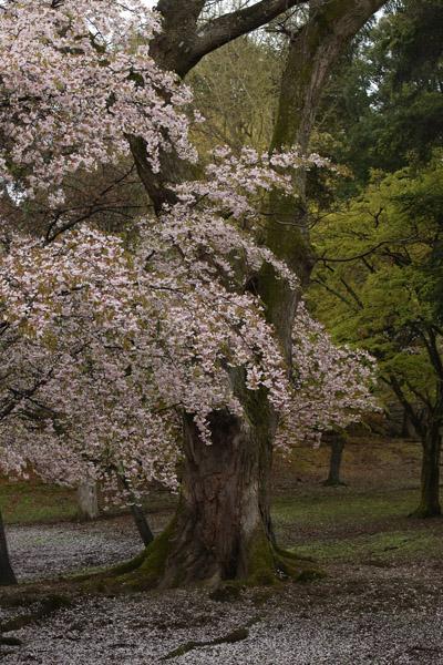 奈良の桜10