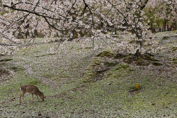 奈良の桜15