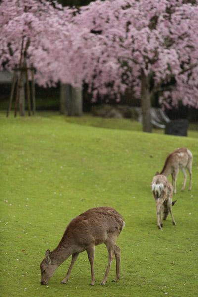 奈良の桜8