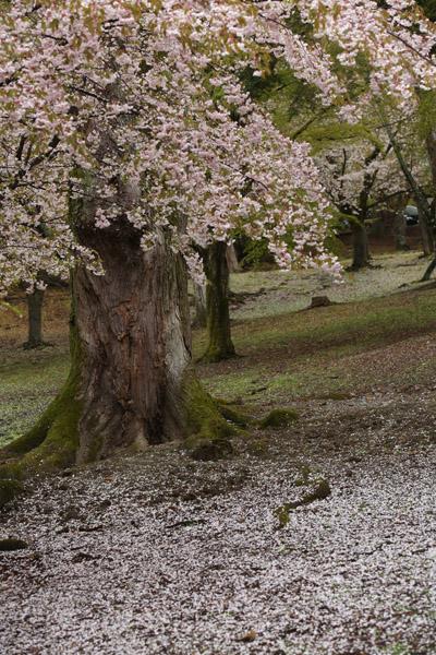 奈良の桜12