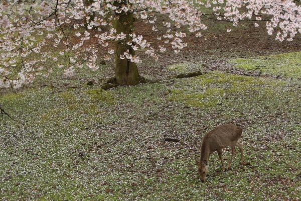 奈良の桜14