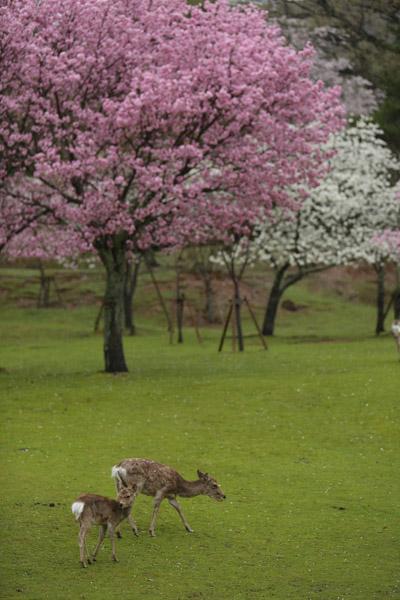 奈良の桜7