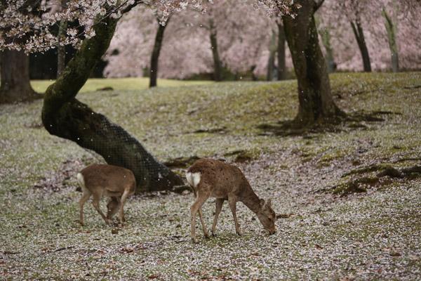 奈良の桜19