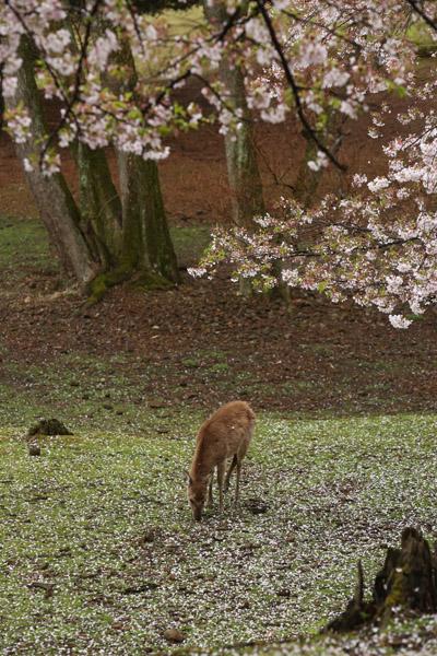 奈良の桜13
