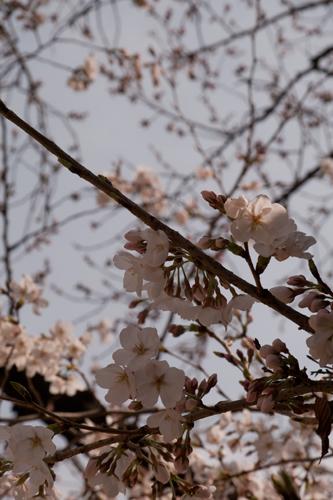 桜 1_edited-1
