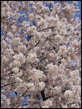 最後の桜 5