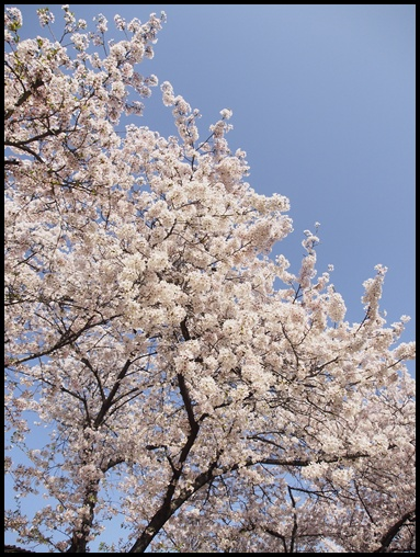 最後の桜 1修正