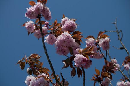 信楽 八重桜 1