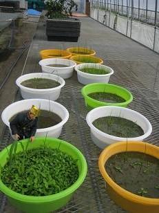 田圃の雑草 (3)