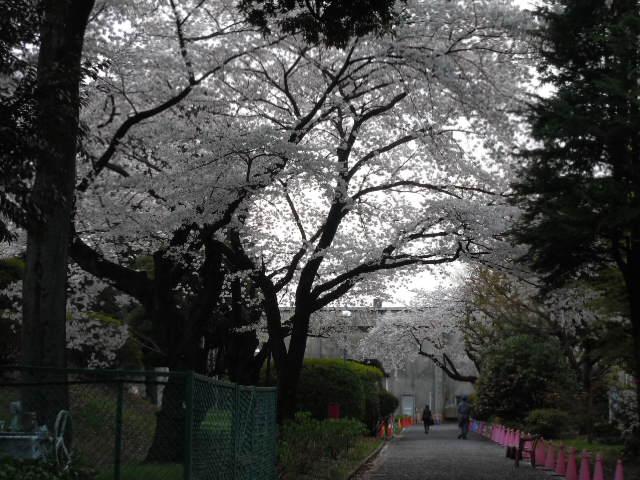 和田堀給水所 桜並木