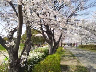 白鳥公園の桜
