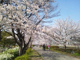 白鳥公園の桜②
