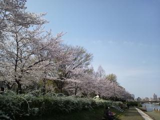 白鳥公園の桜①