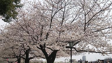 桜2013②