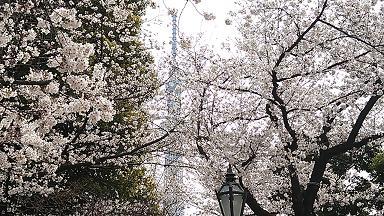 桜2013⑤