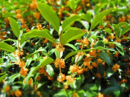 もうすぐ甘い秋の香りが漂い始めます!