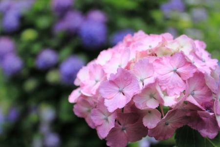 紫陽花(アジサイ)の季節