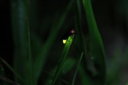 城崎温泉でも蛍(ホタル)の季節が訪れます。