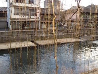 城崎温泉の柳並木の蕾情報。
