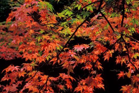 紅葉と朝晩の寒暖差との関係