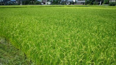 2011-9-8田んぼ