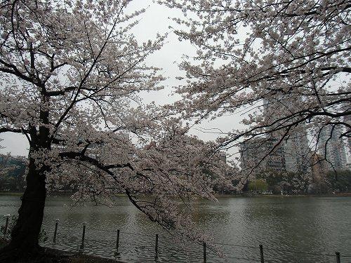 不忍池 桜 満開