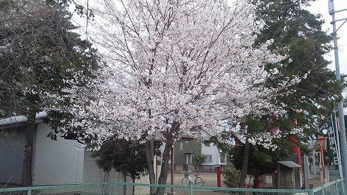三室神社 桜