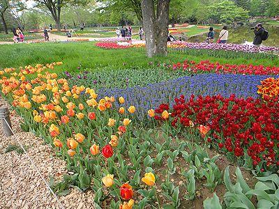 tulip201304a.jpg