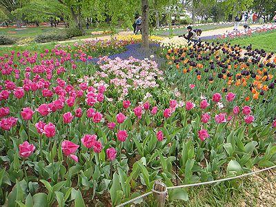 tulip201304b.jpg