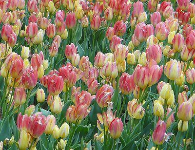 tulip201304c.jpg