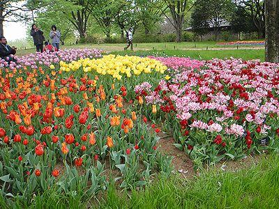 tulip201304g.jpg