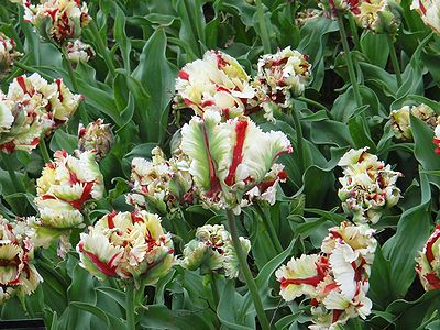 tulip201304h.jpg