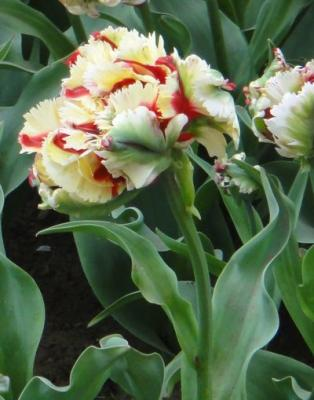 tulip201304i.jpg