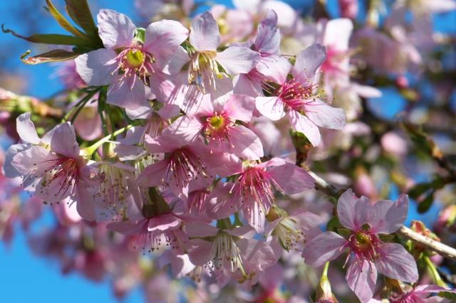 ヒマラヤ桜-1