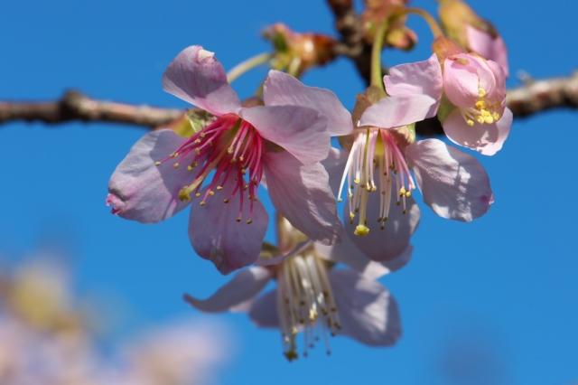 ヒマラヤ桜-2