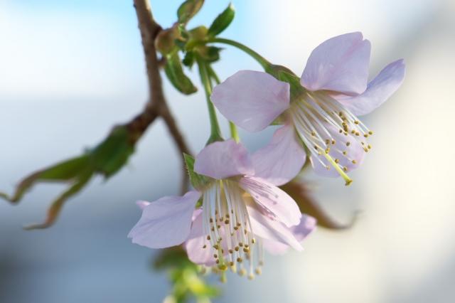 ヒマラヤ桜-3