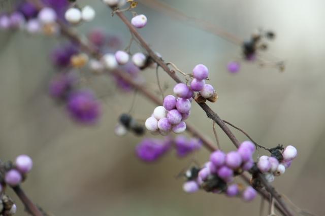 紫式部-2