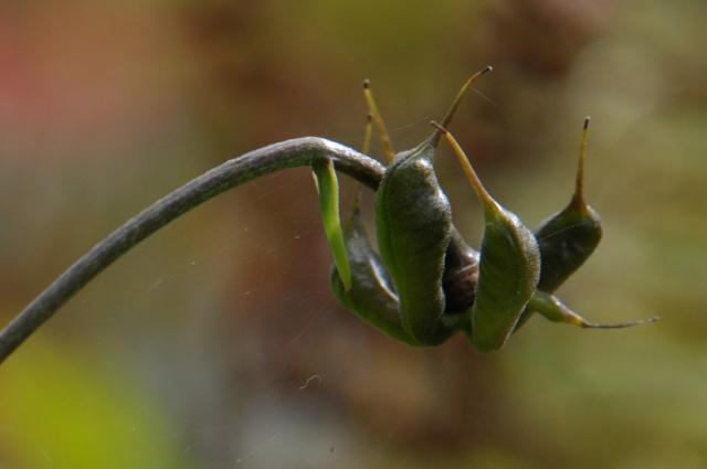 レンゲショウマの種-2