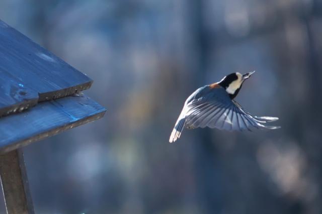 ヤマガラの飛翔-4
