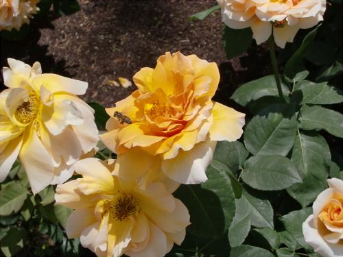 靱公園のバラ-アップ02
