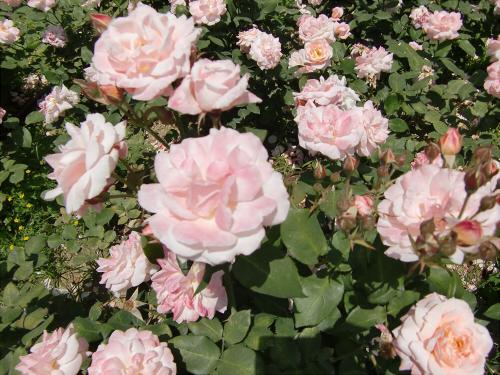 靱公園のバラ-アップ04